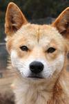 An Australian Dingo